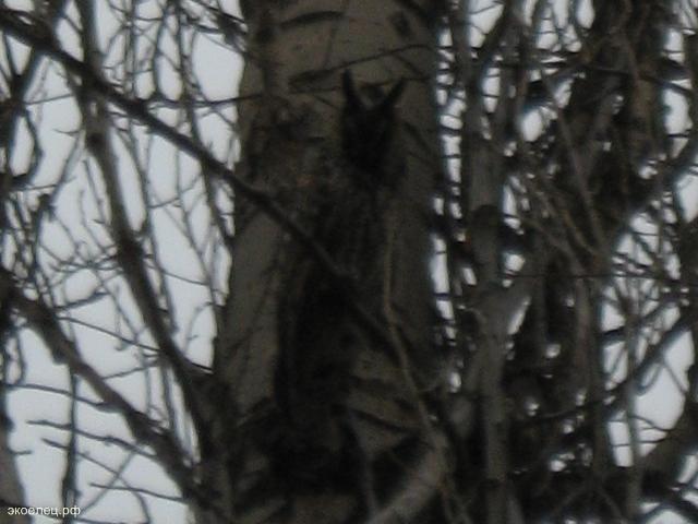 Ушастая сова 2
