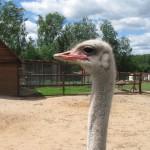 Африканский черный страус