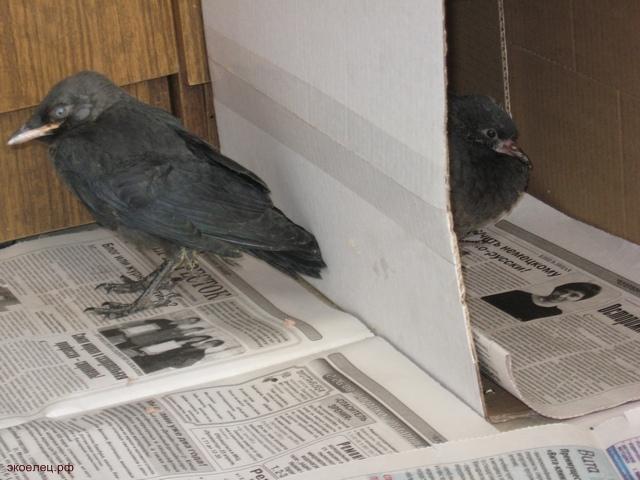 Галка и голубь