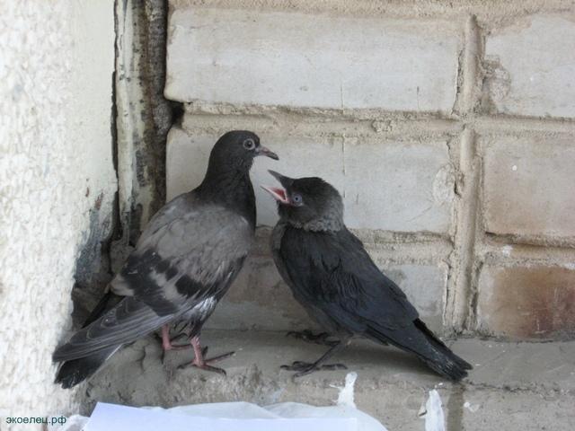 Галчонок просит еду у голубенка