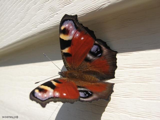 "Бабочка ""Павлиний глаз"" на стене"
