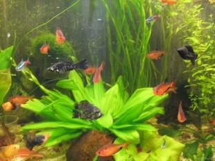 Неоны и другие рыбки