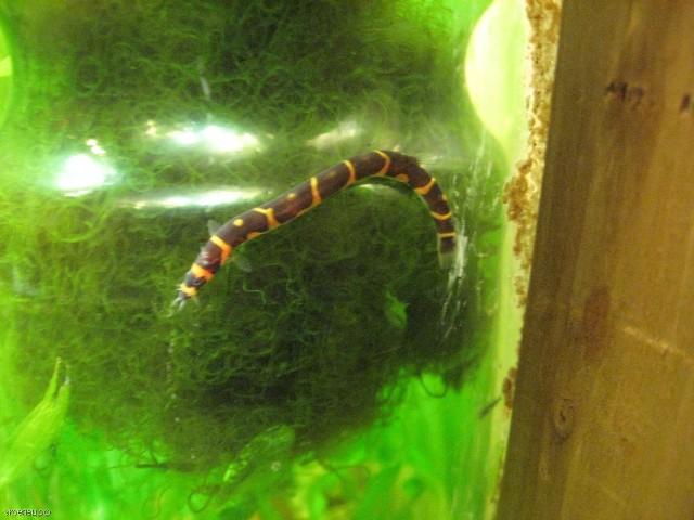Рыба-змейка (акантофтальмус)