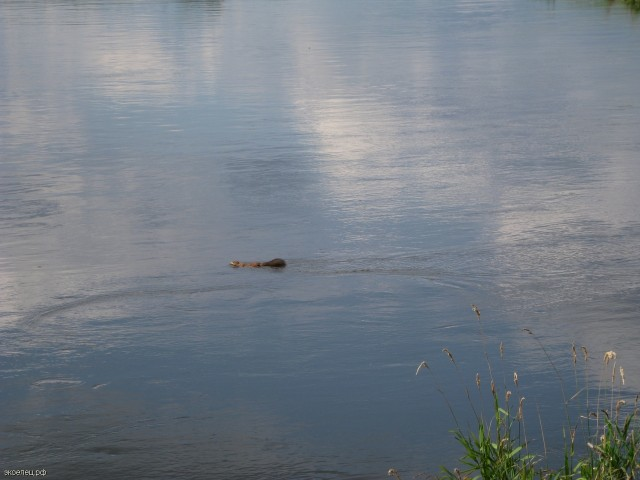 Белка переплывает реку