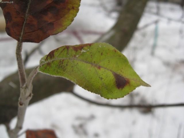 Зеленый лист яблони зимой