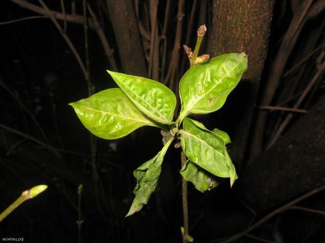 Зеленые листья сирени зимой