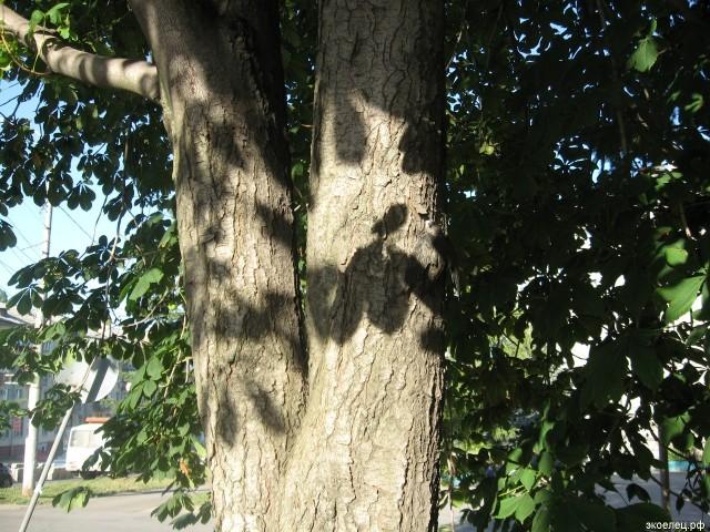 Стриж на дереве в Липецке