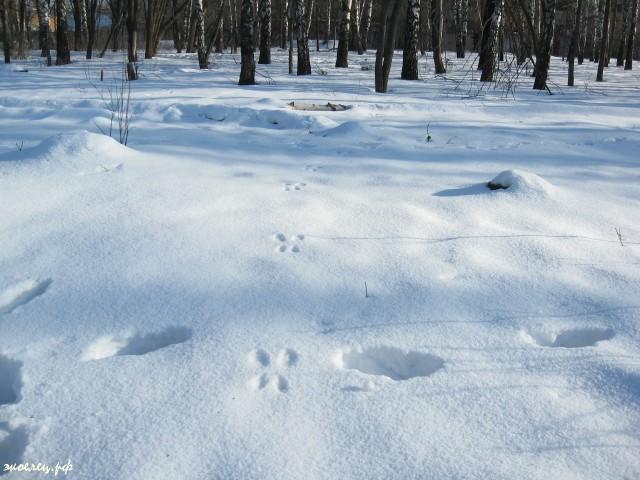 Следы белки на снегу. Елец. Парк Сорокалетия. Февраль 2013г.